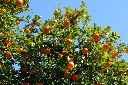 And orange trees, of course