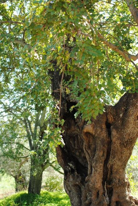 Olive trees everywhere