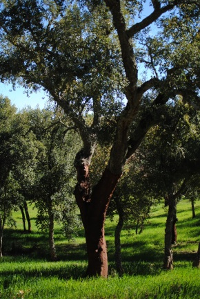 Cork oak field